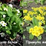 Примула и другие многолетние растения, клубника, Новосибирск