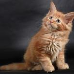 Кунятки, продам котят, Новосибирск