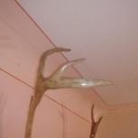 Рога оленя, Новосибирск