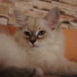 Невские маскарадные котята с родословной, Новосибирск