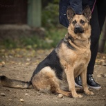 Чудесная Собака В Хорошую Семью, Новосибирск