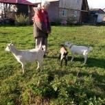 Продам козлят, Новосибирск