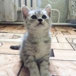 Британский котёнок, Новосибирск