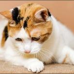 Трехцветная красивая кошка Марго, Новосибирск