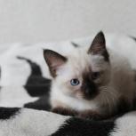 Тайский котенок, Новосибирск