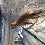 Найдена 06 февраля собака, девочка амстаф на остановке Народная, Новосибирск