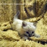 Котята невской маскарадной. От семейной пары, Новосибирск