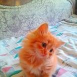 Продам котенка, Новосибирск