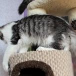 Котенок супер парень. Великолепный окрас- тигровое серебро, Новосибирск