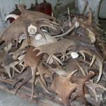 Рога крупнорогатого скота, Новосибирск