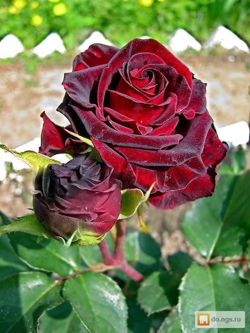Где купить сибирские розы розы плетистые купить беларусь
