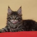 Мейн-кун крупные породные котята, Новосибирск