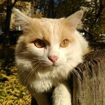 Золотистый кот Бояр,кастрат, Новосибирск