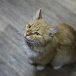 Найден Рыжий белый котик, ошейник, Октябрьский район!, Новосибирск