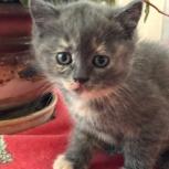 Отдам в хорошие руки чудесных котят от мамы британки !!!, Новосибирск