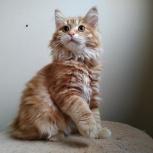 Яркие котята курильского бобтейла, Новосибирск
