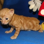 рыжие котята, Новосибирск