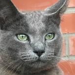 Найден дымчатый кот в районе ул. Выборная, Новосибирск
