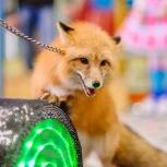 Дрессированные лисички, Новосибирск