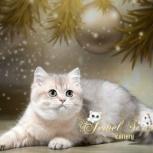 Британские котята из п-ка Jewel Sapphire, Новосибирск