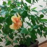 Гибискус китайская роза махровая кремовая, Новосибирск