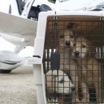 Авиа перевозка щенка Новосибирск - Южно-Сахалинск, Новосибирск