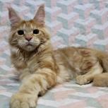 Шикарные котята мейн куны из питомника., Новосибирск