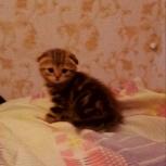 Котенок мраморная красавица, Новосибирск