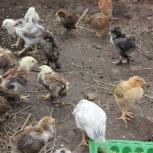 Цыплята, Новосибирск