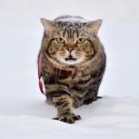 Британский кот на вязку, Новосибирск