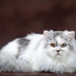 Шотландский котик (чемпион), Новосибирск