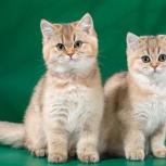 Котята золотистого окраса!, Новосибирск