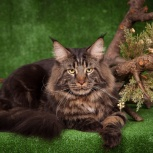 Вязка с котом мейн кун, Новосибирск