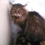 Сибирский кот Барс 1,5 года, Новосибирск