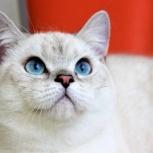 Чистокровный британский кот серебристого окраса, Новосибирск