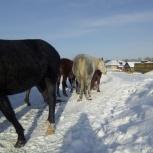 Лошади, Новосибирск