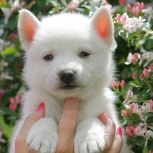 Белые медвежатки щенки Хаски, Новосибирск