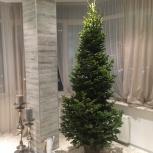 Новогодние живые елки от красивой до элитной, Новосибирск