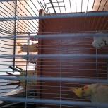 Продам птенца Корелла, Новосибирск
