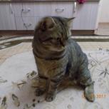 Красивый шотландский кот, Новосибирск