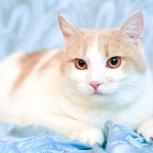 Персиковая кошка Юнона до года, стерилизованная, Новосибирск