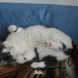 Ласковый воспитанный котик Зевс, Новосибирск