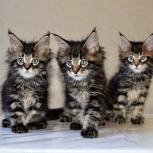 Продам котят мейн-кун от родителей чемпионов, Новосибирск