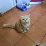 Срочно отдам кота в добрые руки, помесь шотландца с британцем, Новосибирск