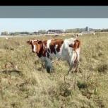 Продам корову в криводановке, Новосибирск