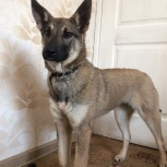 Очаровательный пес подросток Джина ищет семью, Новосибирск