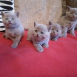 Британские котята, девочки и мальчики., Новосибирск
