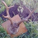 Продам рога дикой козы, оленя, Новосибирск