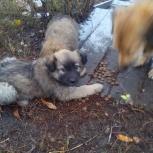 Замечательные щеночки, Новосибирск