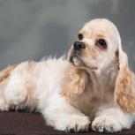 Американский кокер спаниель щенок, Новосибирск